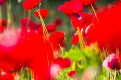Poppy Royalty Free Stock Photo