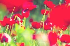 Poppy Stock Photos
