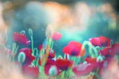 Poppy Royalty Free Stock Photography