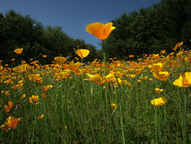 Poppy Among Poppies. A larger poppy among a field of California poppies Royalty Free Stock Image