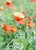 The Poppy. Poppies blooming in the field Royalty Free Stock Photography