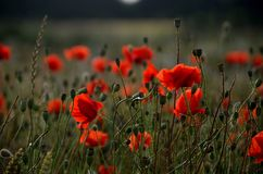 Poppy, Poppies, Red, Countryside Royalty Free Stock Photography