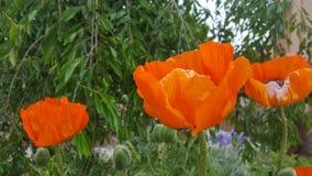 Poppy Poppy Fotografia de Stock Royalty Free