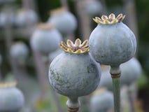 Poppy, Poppy Capsules, Seeds Stock Images