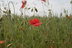 Poppy. In field Royalty Free Stock Photography