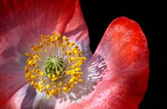 Poppy, Poppy Flower, Macro, Close Stock Photos