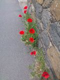 Poppy. S, Guernsey, Channel Islands Stock Image
