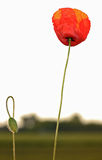 Poppy portrait Royalty Free Stock Photography