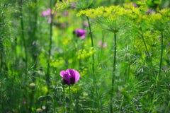 Poppy purple flower Fresh, Wildflower , flowers, green background. Poppy purple Flower Fresh, Wildflower macro shot flowers on green leaves background on a warm Stock Photos