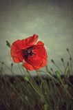 Poppy in rain Stock Photos