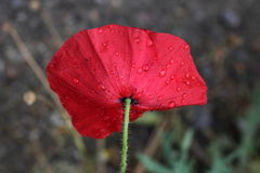 Poppy in the rain. Royalty Free Stock Images