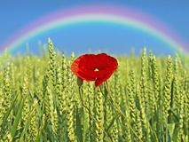 Poppy with rainbow Stock Photo