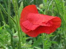 Poppy with Raindrops Stock Images