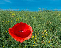 Flowering poppy in field. Papaver rhoeas. Colza and wild red corn rose in bloom under blue sky. Biofuels, natural renewable sources and environment idea stock image