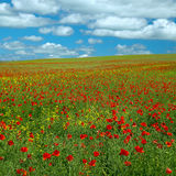Poppy and rape. Poppy flower on rape field Royalty Free Stock Images
