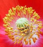 poppy rdzenia, Obrazy Royalty Free