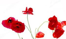 Poppy red Royalty Free Stock Photo
