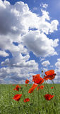 Poppy red Stock Photos
