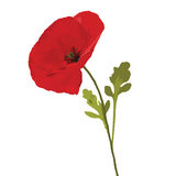 Poppy red Stock Image