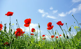 Poppy red Royalty Free Stock Images