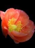 Poppy red on black Royalty Free Stock Photos