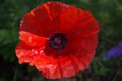 Poppy, Red, Blossom, Bloom, Flower Royalty Free Stock Photos