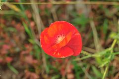 Poppy red flower in focus. Macro photography, poppy red flower and bloom background stock image
