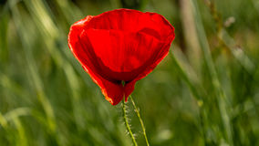 Poppy. A red poppy flower light from the setting sun Royalty Free Stock Images