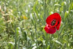 Poppy Red Flower immagini stock