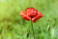 Poppy Royalty Free Stock Images