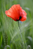 Poppy red Stock Images