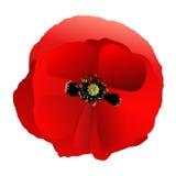Poppy red gradient Stock Photo