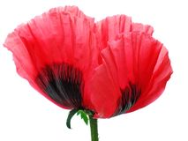 Poppy red isolated Royalty Free Stock Image