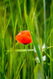 Poppy. Red poppy on the meadow Stock Images