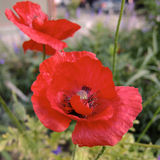 Poppy Stock Images