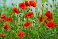 Poppy. red poppy. Flowers Red poppies blossom on wild field. Bea Stock Photography
