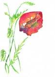 Poppy Red Watercolor Royalty-vrije Stock Afbeelding