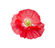 Poppy red with white center and yellow stamens Stock Image