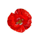 Poppy red with white middle Royalty Free Stock Image