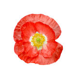Poppy red with yellow stamens Royalty Free Stock Photos