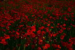 Poppy - Remembrance Day. Red poppy flower field, narcotics royalty free stock photo