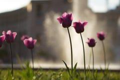 Poppy in Republic squre Armenia stock photo