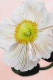 Poppy on rose background stock image