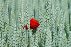 Poppy and rye Royalty Free Stock Image