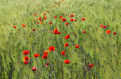 Poppy and rye field Royalty Free Stock Photo
