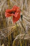 Poppy in rye field. Lonely Poppy in rye field. Close up Royalty Free Stock Image
