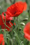 Poppy's. A few poppy's in close up Royalty Free Stock Image