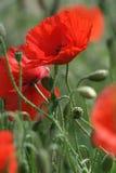 Poppy's Royalty Free Stock Image