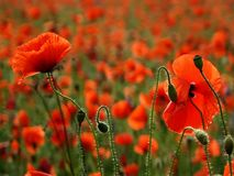 Poppy's field Royalty Free Stock Photos