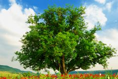 Poppy's field and big green tree stock photos